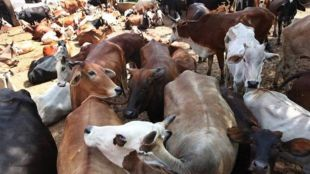 Allahabad High Court, Cow Slaughter, National Animal